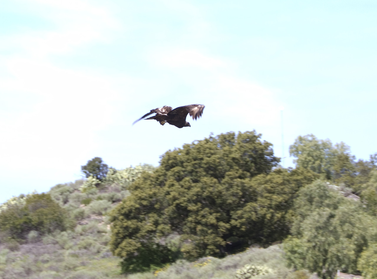 Golden Eagle in flight in Coto de Caza, Orange County, CA 2011 03 07