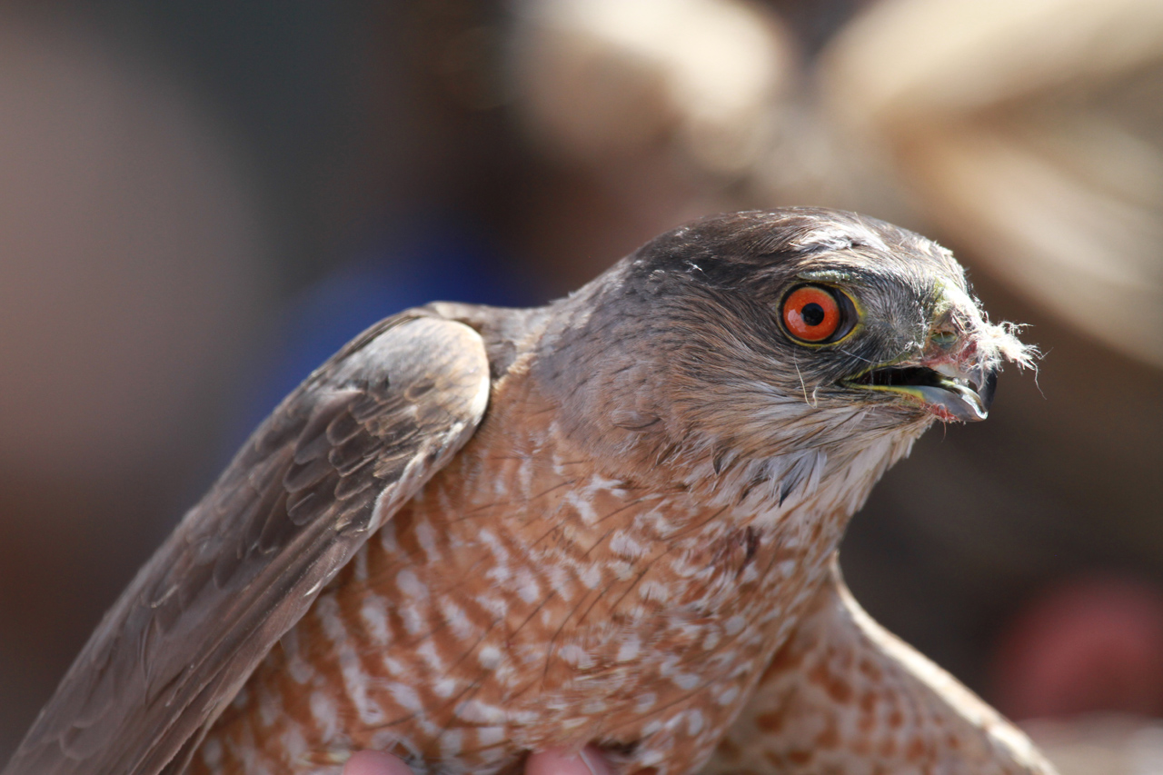 04_orange-county-raptors-2015-sharp-shinned-hawk