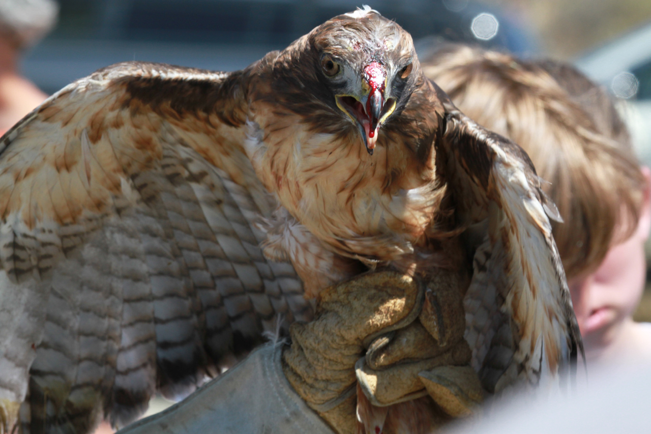 21_orange-county-raptors-2015-red-tail-hawk