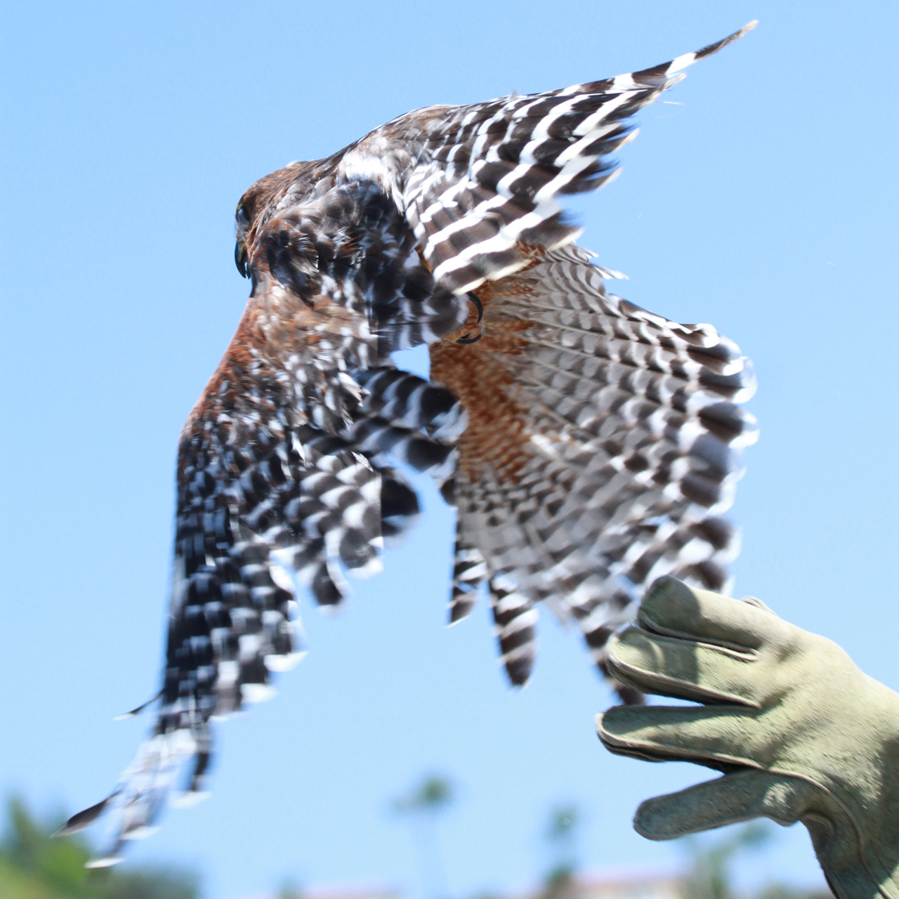 23_orange-county-raptors-2015-red-tail-hawk
