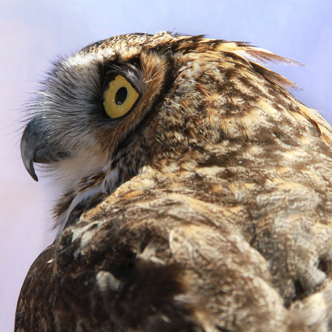 38_orange-county-raptors-2015-male-great-horned-owl