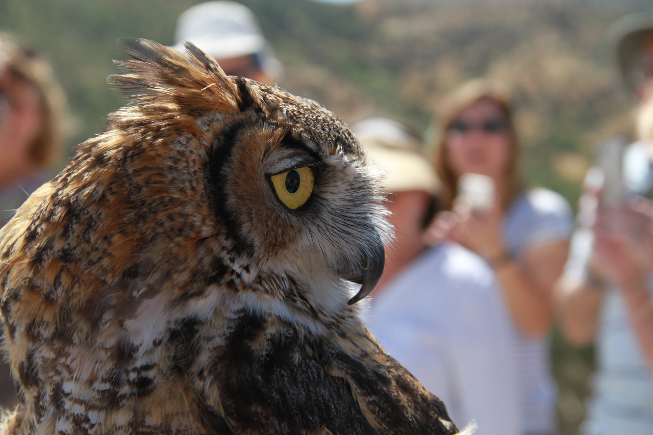 40_orange-county-raptors-2015-male-great-horned-owl