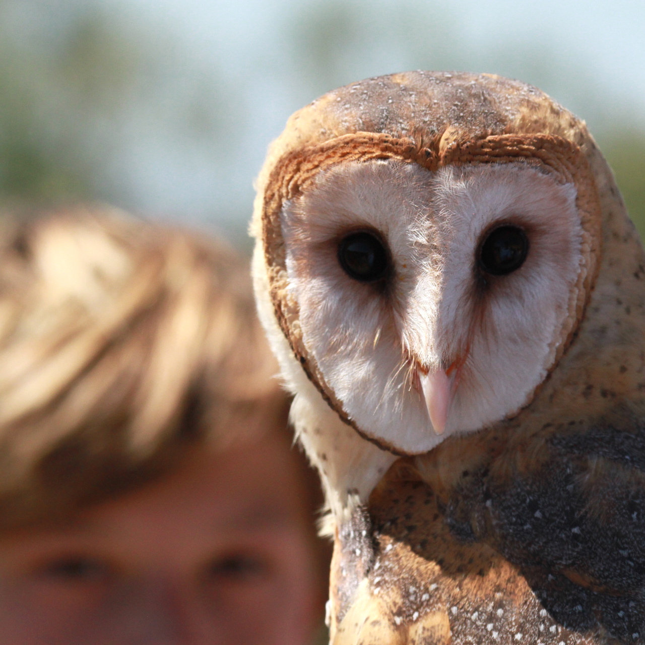 64_orange-county-raptors-2015-barn-owl
