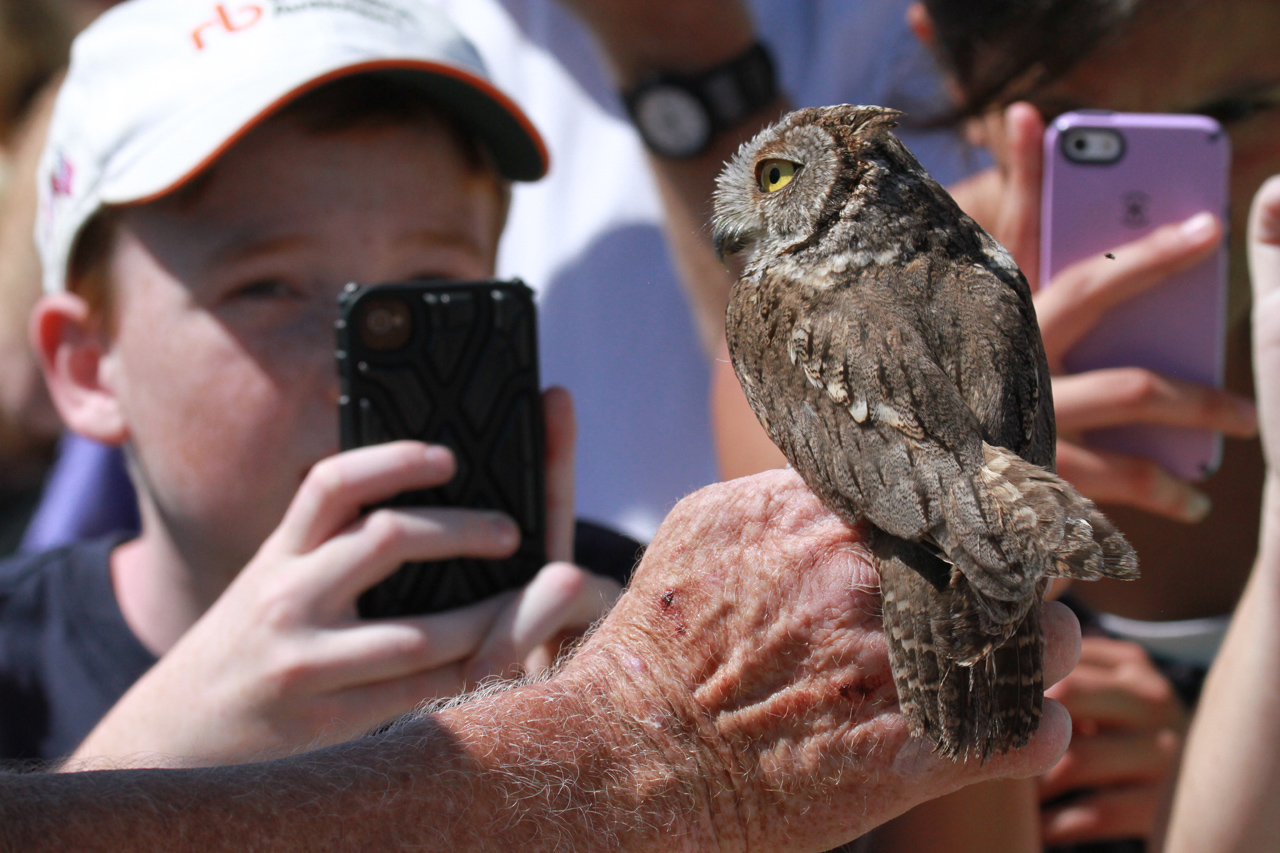 67_orange-county-raptors-2015-screech-owl