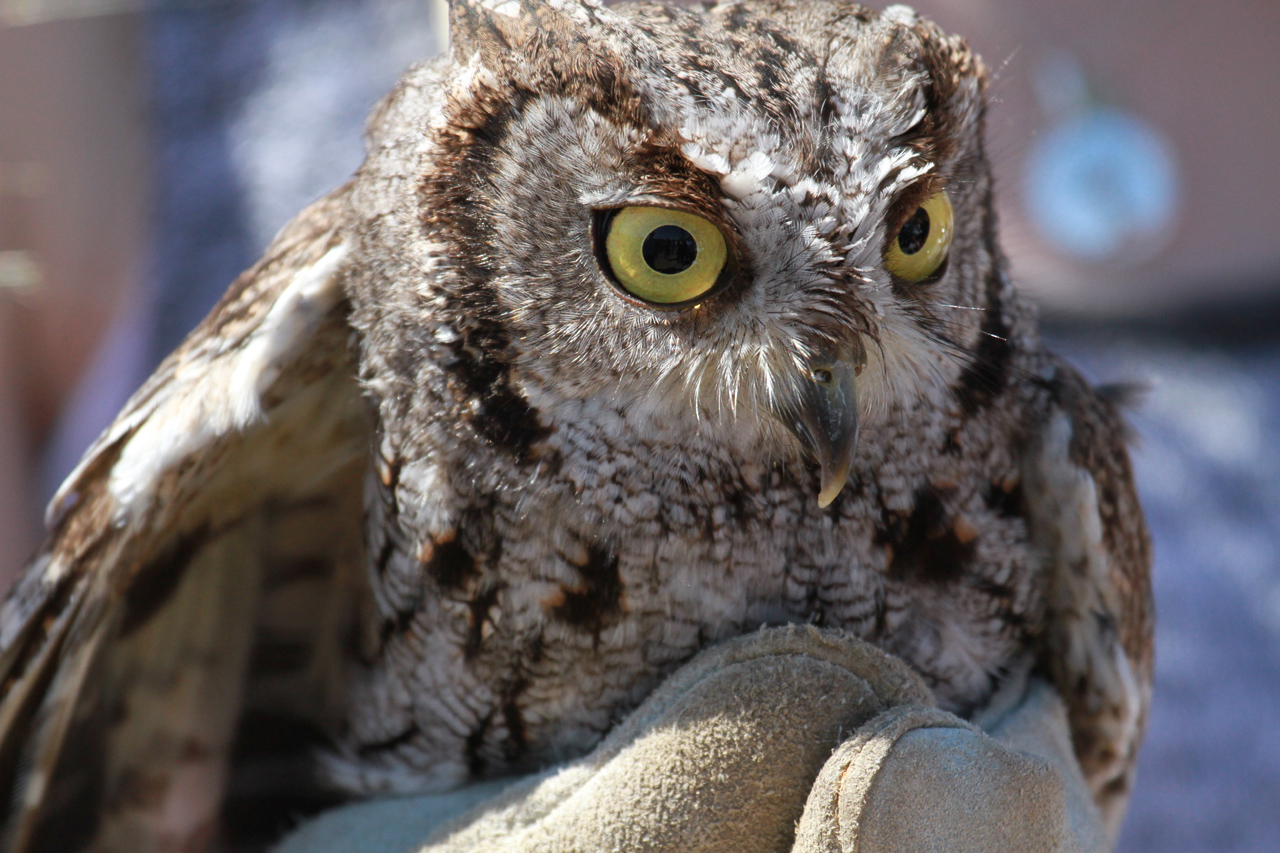 74_orange-county-raptors-2015-screech-owl